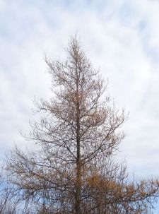 T is for TuesdayThe Tamarack Tree  The Wicker Woman