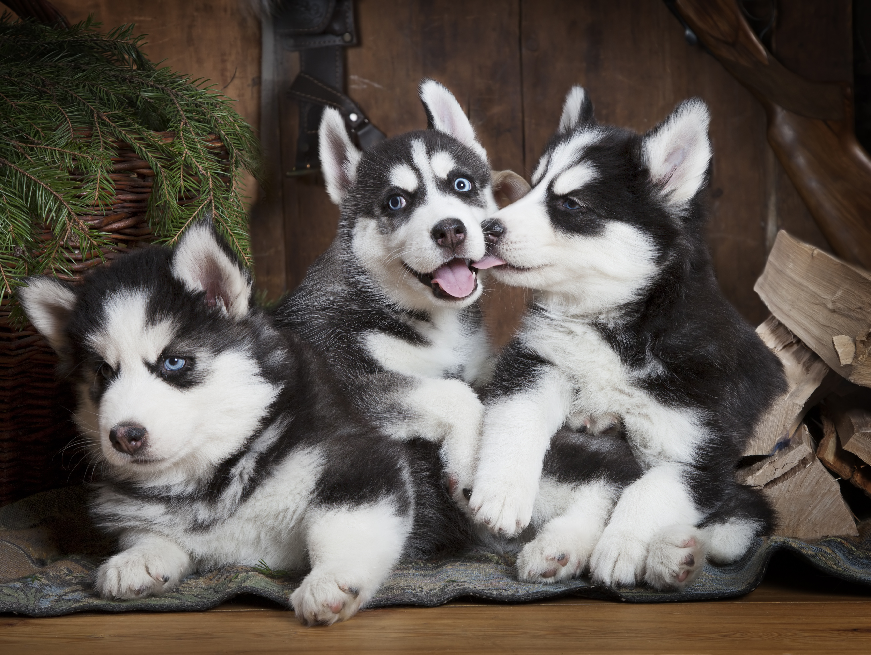 Portrait of two months old Siberian Husky puppies indoors