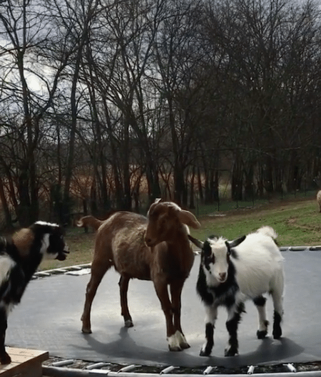 goats on trampoline