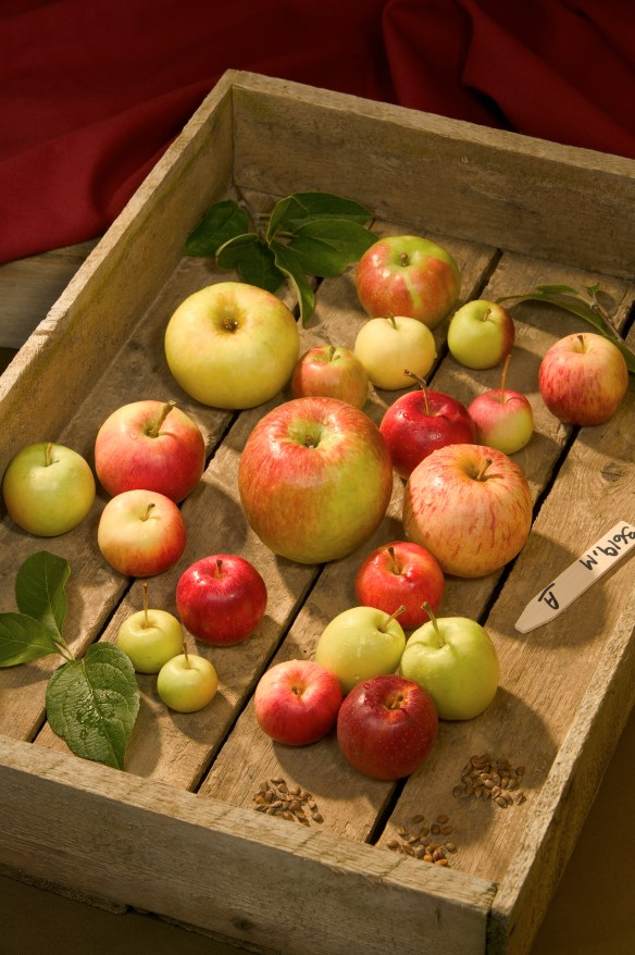 Fruit from wild apple seedlings grown at USDA's apple collection in Geneva, NY