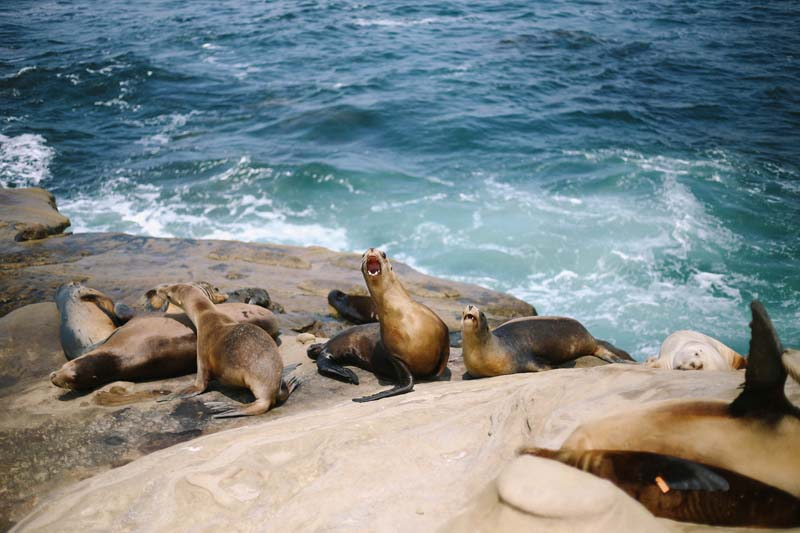 San diego Sea lions and seals