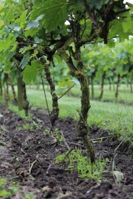 De wijnstokken