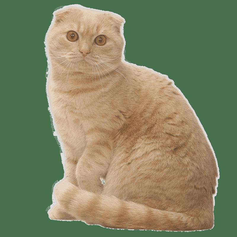 Chat Scottish Fold Chat Et Chaton Fiche De Race Du Chat