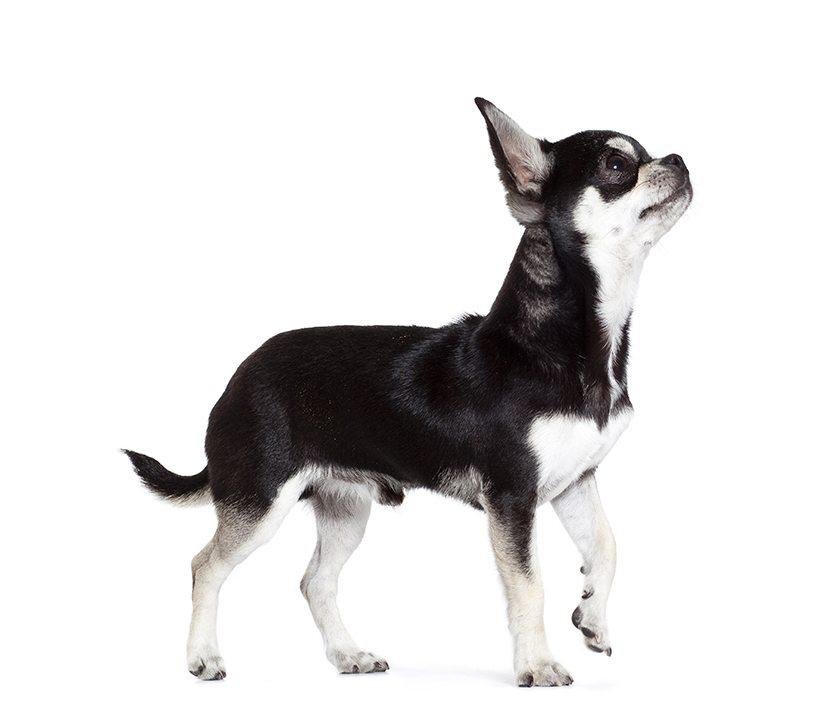 chien chihuahua chien et chiot fiche