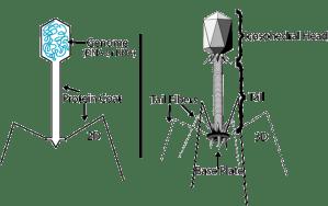 Bacteriophage  wikidoc