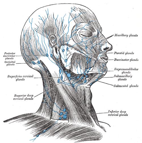 diagram of lymph nodes in neck and head 2016 dodge ram 1500 speaker wiring parotid - wikidoc