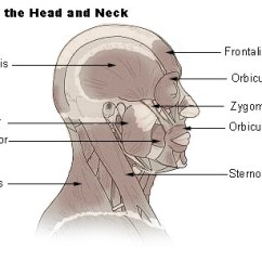 Muscular System Diagram Worksheet American Standard Thermostat Wiring Temporalis Muscle - Wikidoc