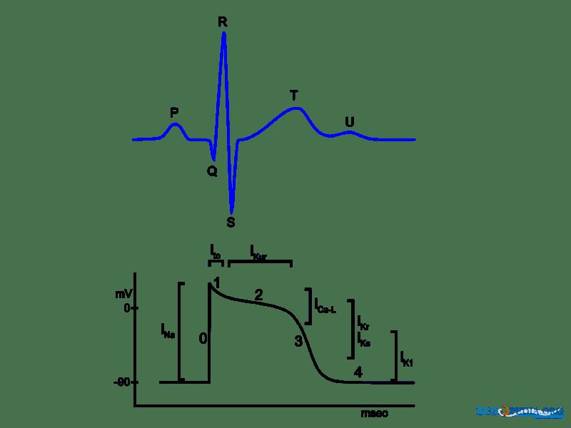 Ekg Leads Diagram, Ekg, Get Free Image About Wiring Diagram