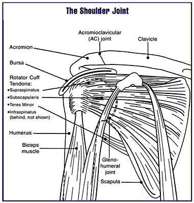 clavicle and scapula diagram two way lighting circuit wiring acromioclavicular joint - wikidoc
