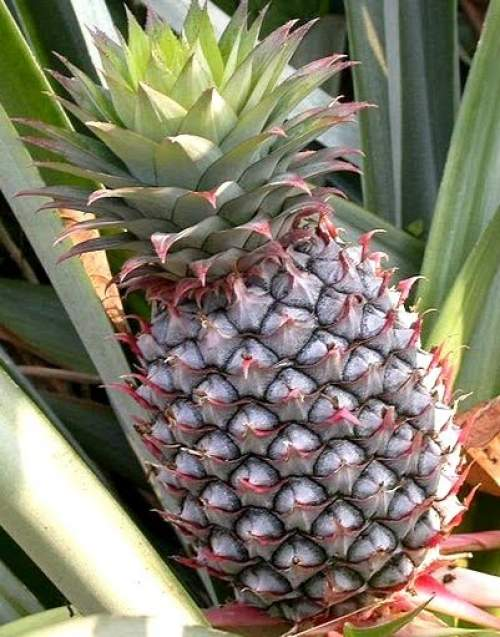 Pineapple facts