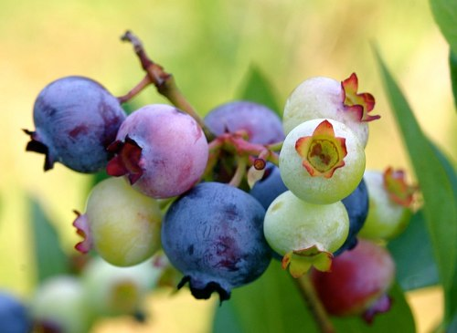 Blueberry fruits ripening