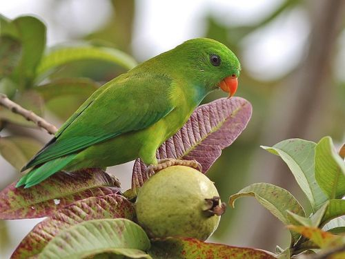 Guava fruit and vernal hanging parrot