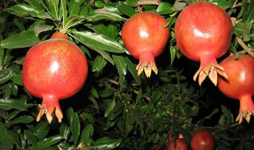 Pomegranate (Punica granatum) on a tree