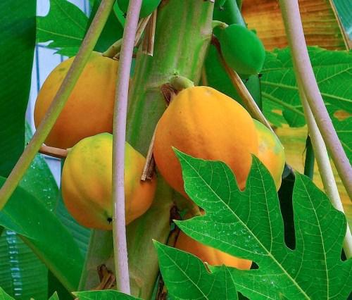 Ripe papaya on the tree