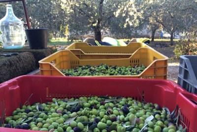 WIKI HOSTEL FAMILY pantasema farming olive harvest