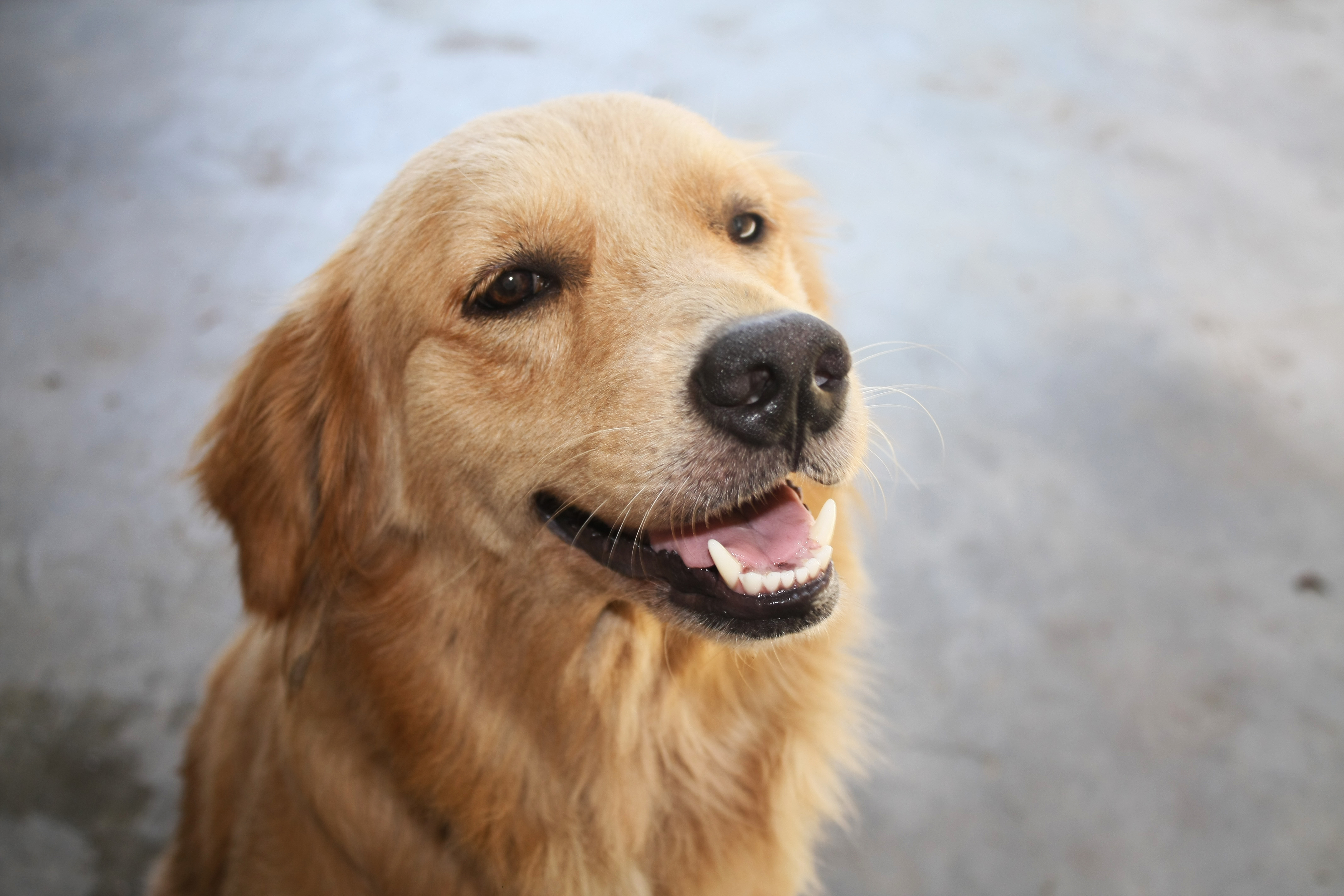 How to Adopt a Dog from a Breed Rescue 10 Steps with