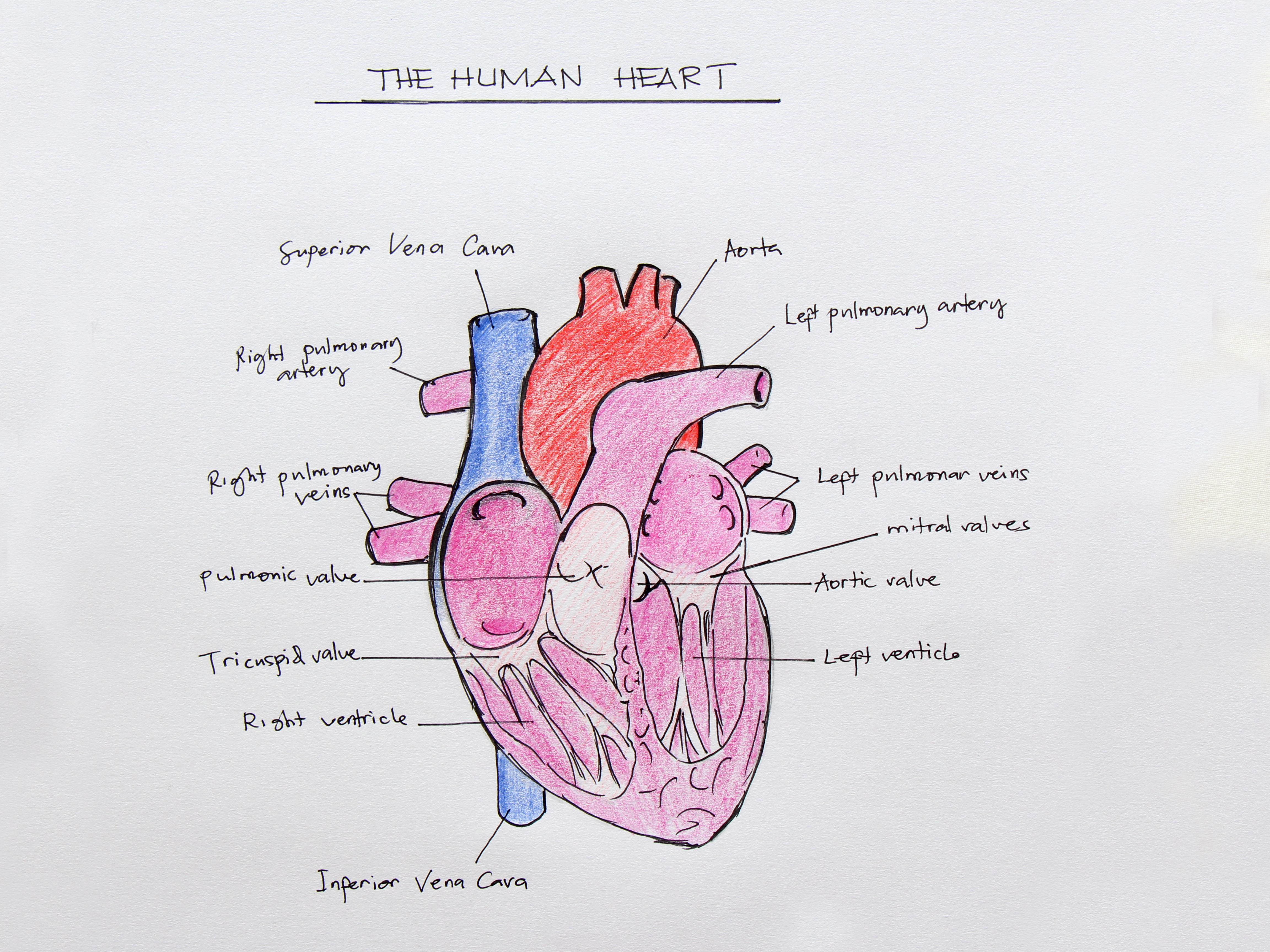 How To Draw The Internal Structure Of The Heart With