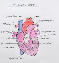 how to draw the internal structure of the heart [ 4608 x 3456 Pixel ]