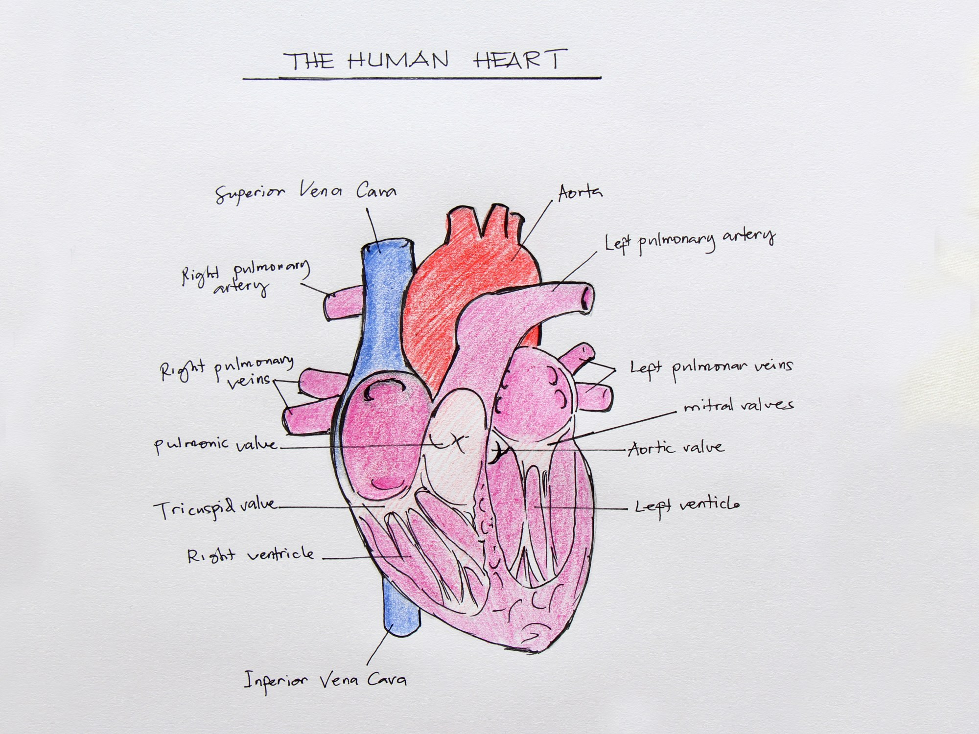 hight resolution of how to draw the internal structure of the heart