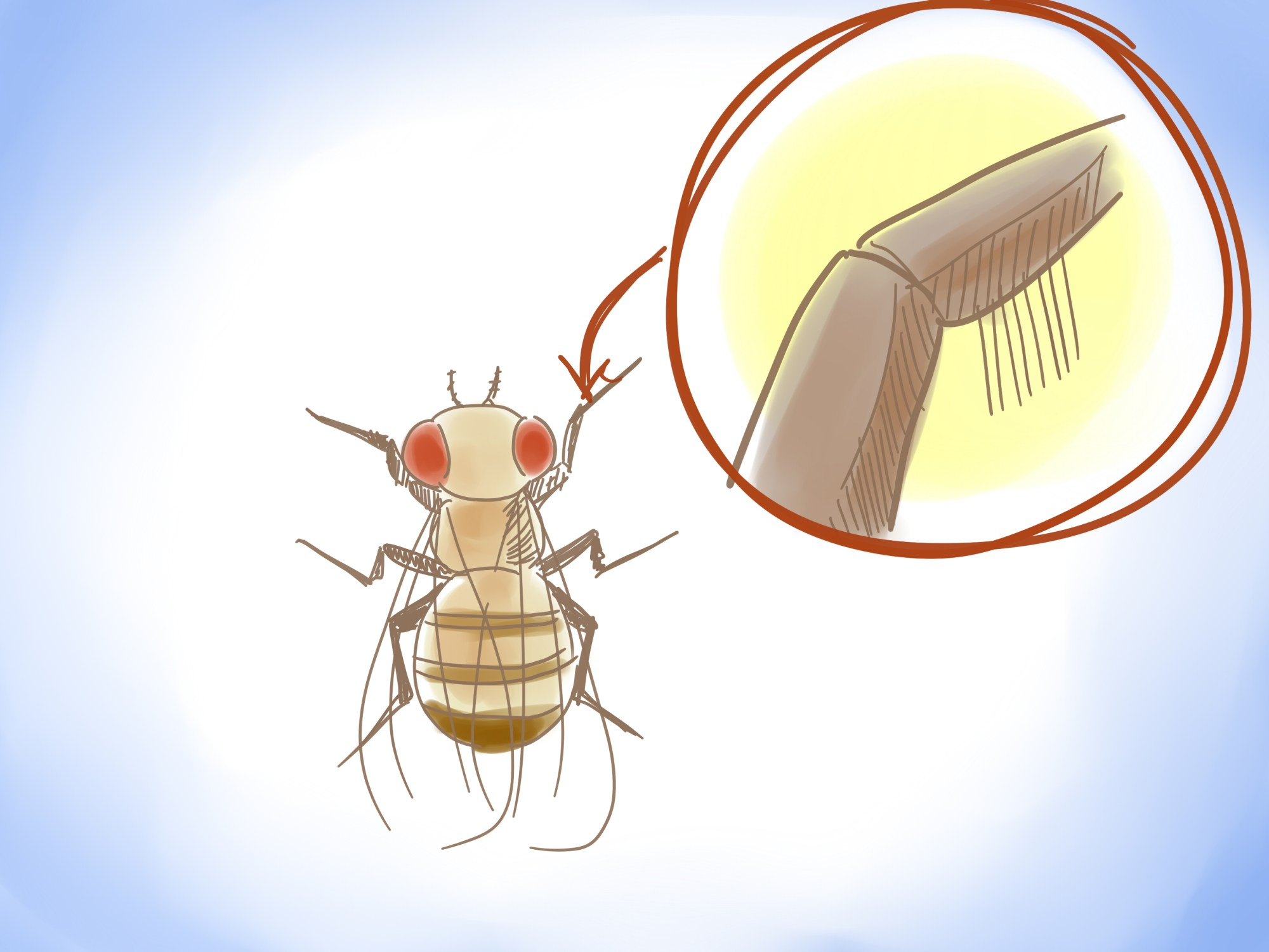 hight resolution of how to distinguish between male and female fruit flies