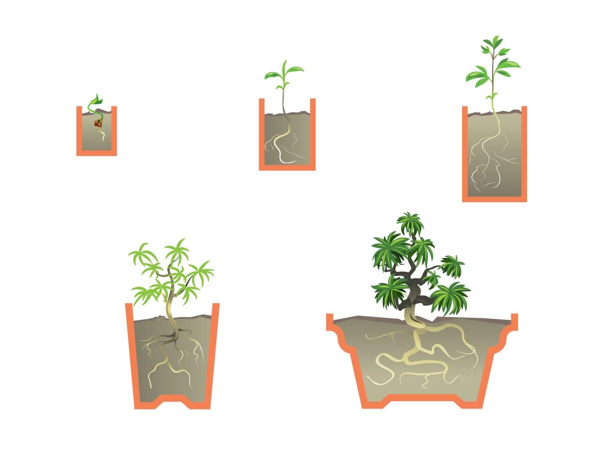 Start a Bonsai Tree Step 16 Version 2