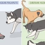 How To Identify An Alaskan Malamute From A Siberian Husky