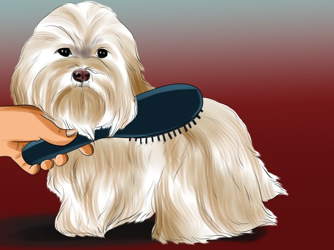 3 ways to groom maltese dogs - wikihow