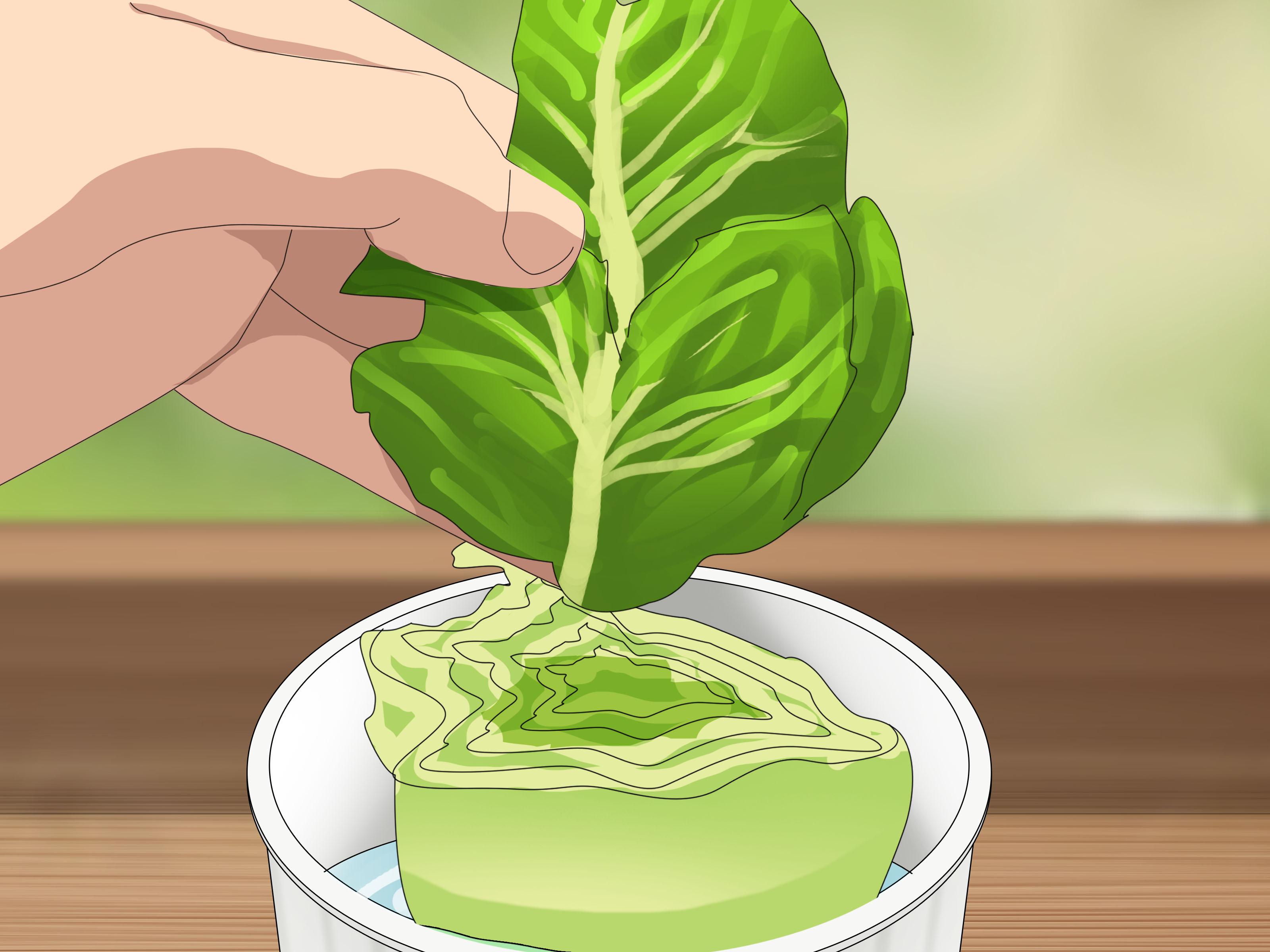 Water Lettuce Care