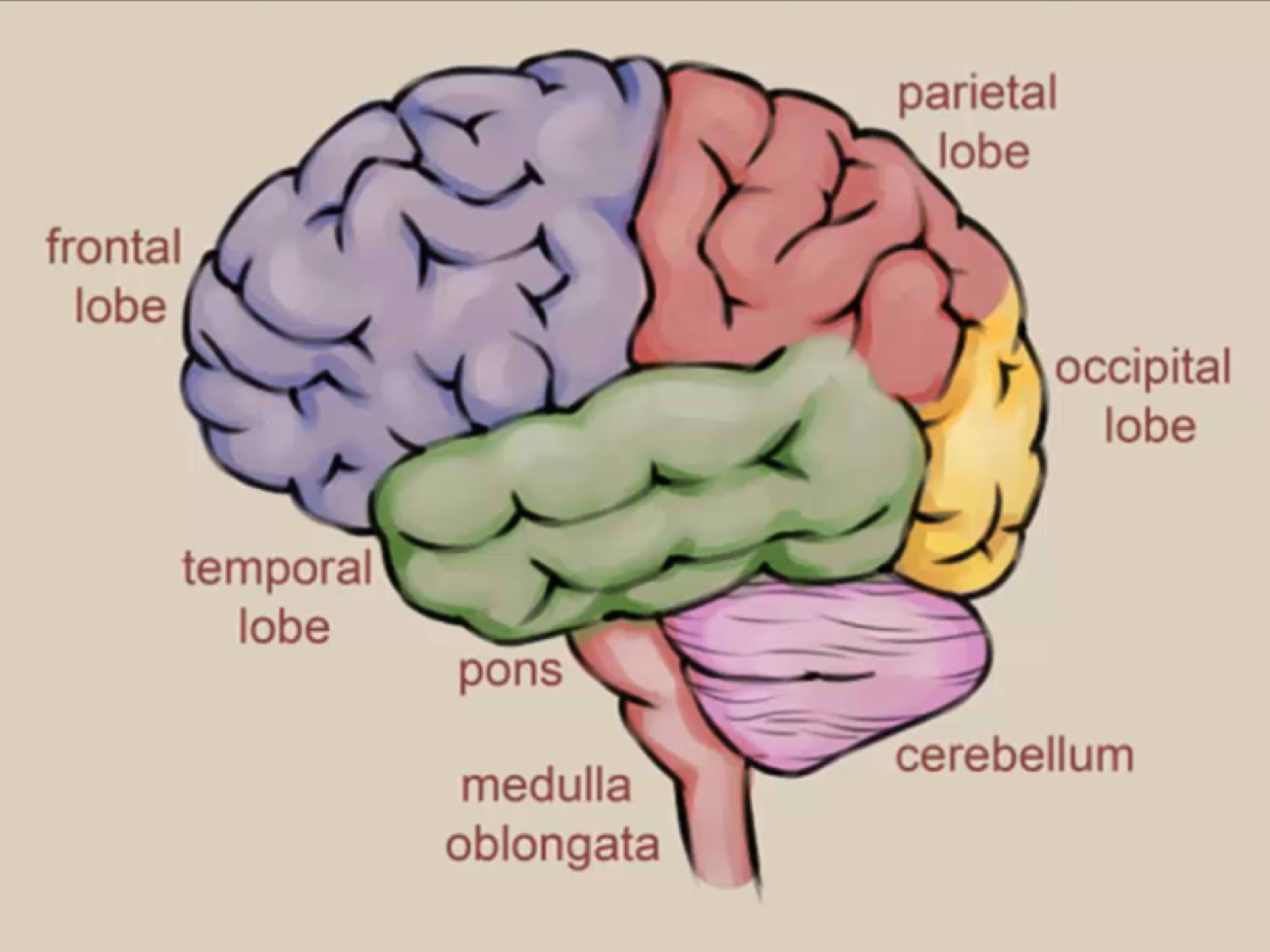 How To Draw A Brain 14 Steps