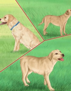 also how to care for  labrador retriever steps with pictures rh wikihow