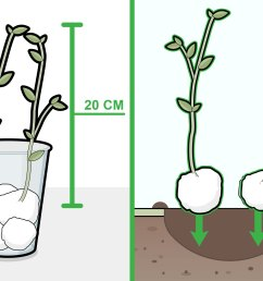 how to grow beans in cotton [ 3200 x 2400 Pixel ]