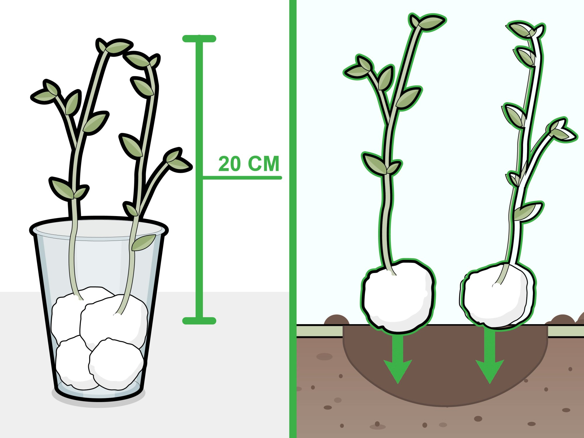 hight resolution of how to grow beans in cotton