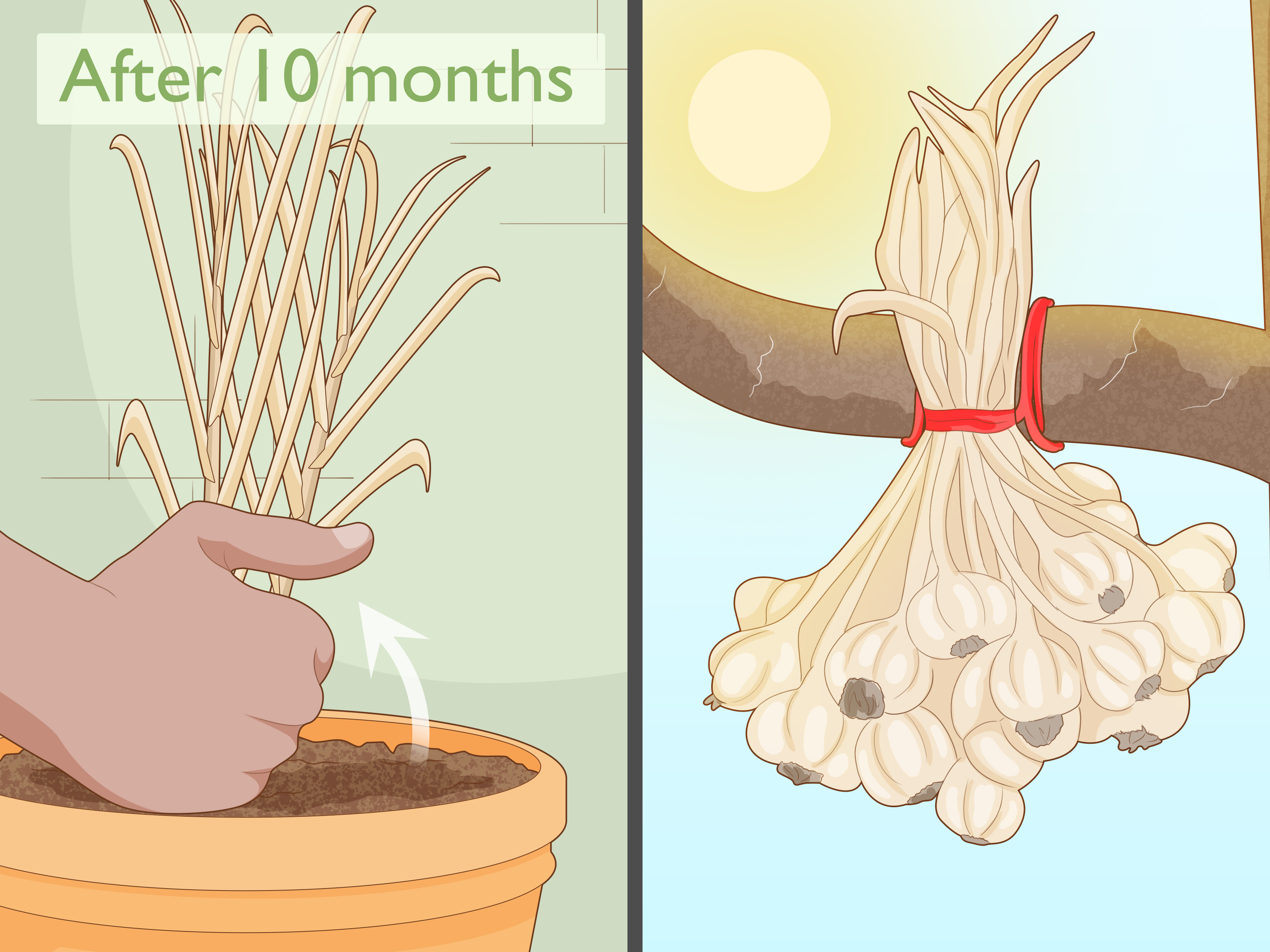 How To Grow Garlic Indoors In A Pot With Pictures Wikihow