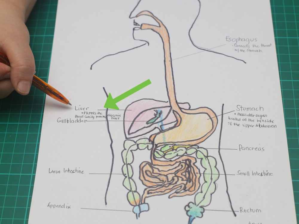 medium resolution of how to draw a model of the digestive system