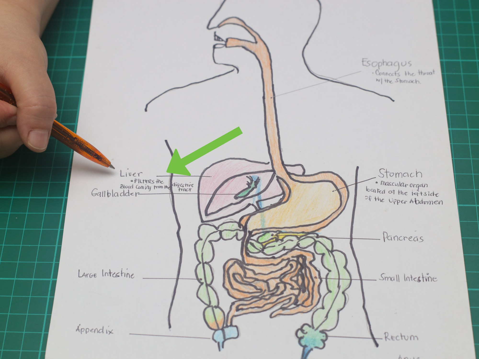 hight resolution of how to draw a model of the digestive system