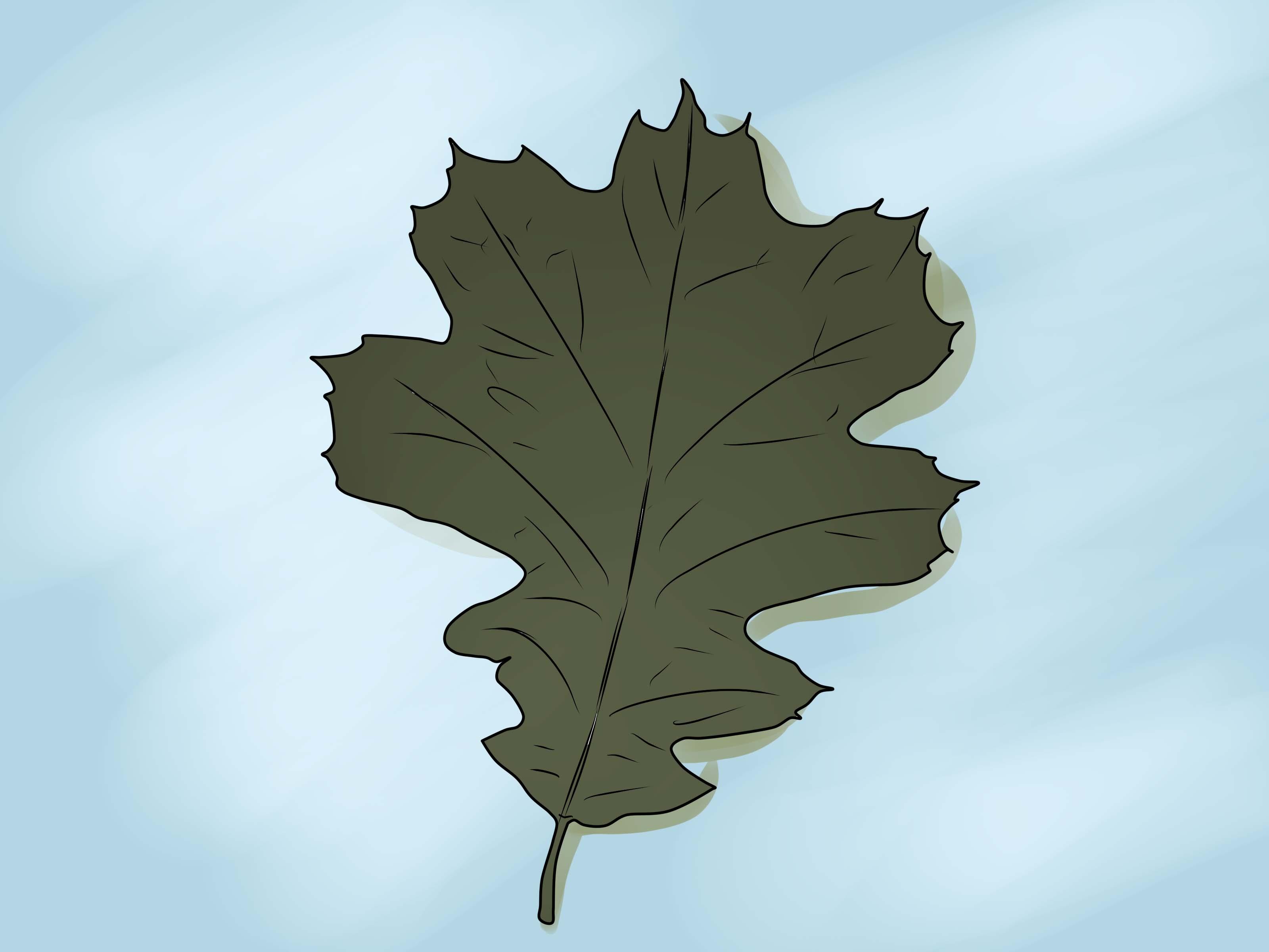 Florida Oak Tree Identification By Leaf