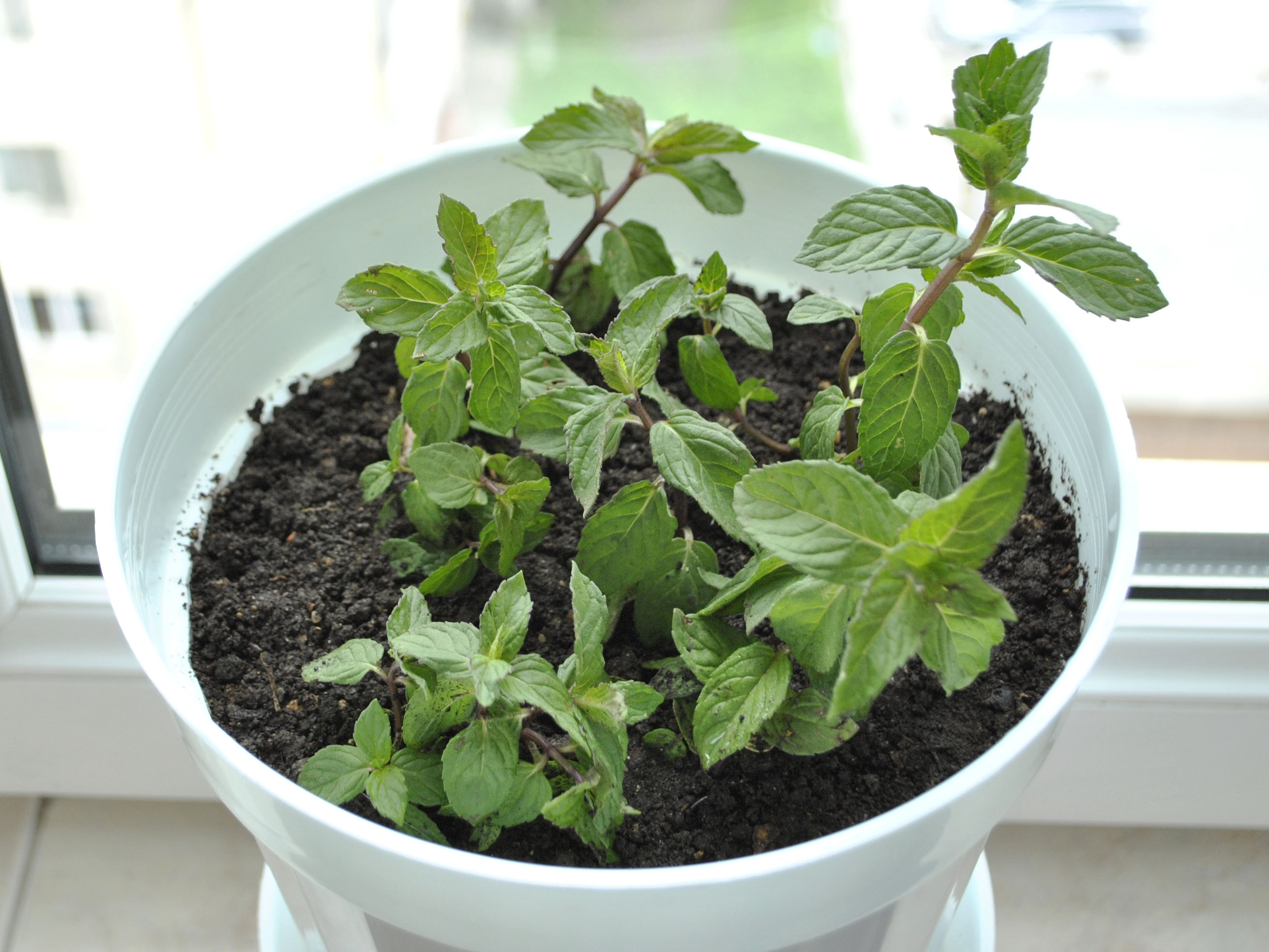 How to Grow Mint in an Apartment 10 Steps with Pictures
