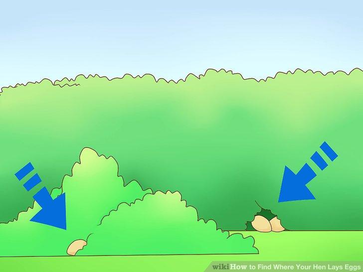 Stehen Sie früh am Morgen auf, um Ihre Hühner zu beobachten.