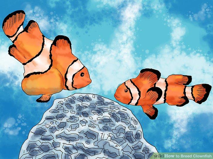 Erkennen Sie die Änderungen im Clownfischverhalten, die das Laichen signalisieren.