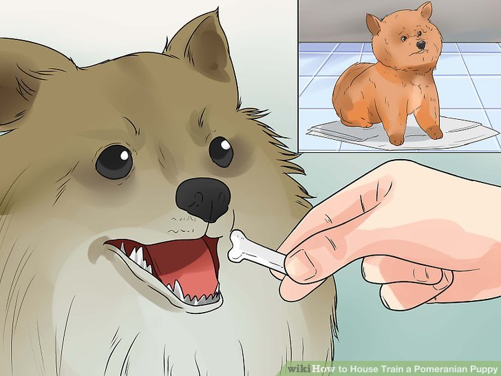 Loben Sie Ihren Pomeranianer, wenn er an den Ort geht, wo Sie ihn haben wollen.