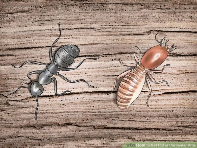 Image Titled Kill Carpenter Ants Step 1