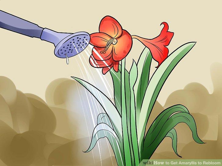 Reduce watering gradually as the leaves die.
