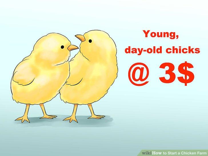 Kaufen Sie junge Küken, wenn Sie bereit sind, auf Eier oder Fleisch zu warten.