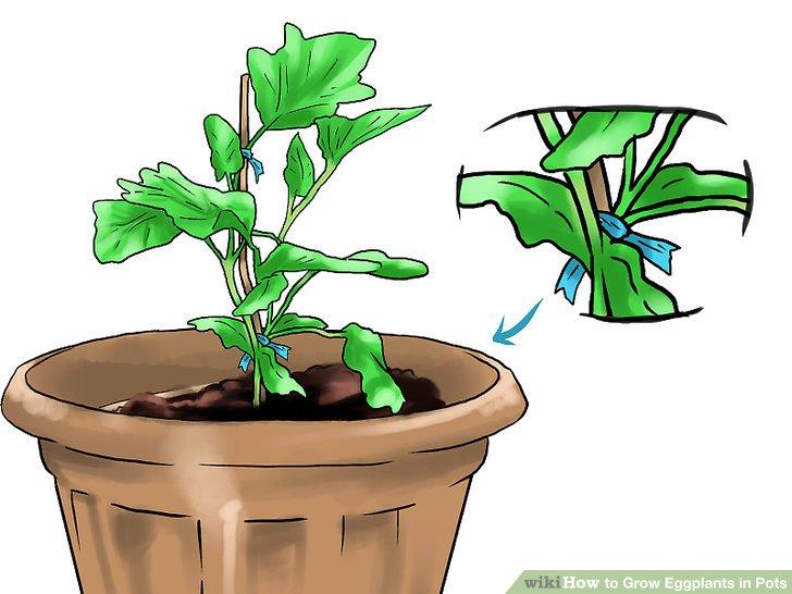 Binden Sie Ihre Aubergine an den Pfahl, um das Wachstum zu fördern.