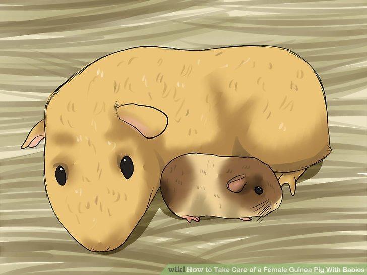 Sorgen Sie sich nicht um die mütterlichen Instinkte der Mutter Meerschweinchen.