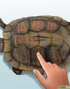 Image titled tell  turtle   age step also how to by rings and size wikihow rh wikihowt