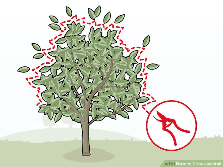 Prune the jackfruit tree regularly to keep it below 20 feet (6.1 m).