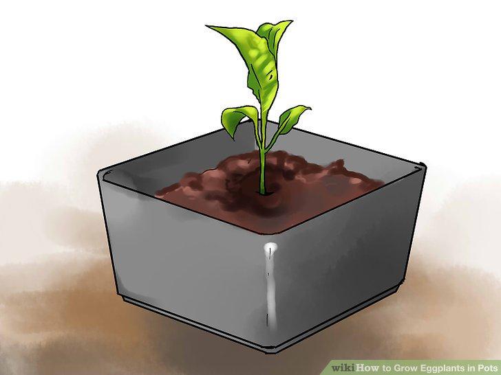 Bereiten Sie Ihre Auberginen auf die Umpflanzung vor, sobald die Pflanzen eine Höhe von mindestens 15 cm erreicht haben.
