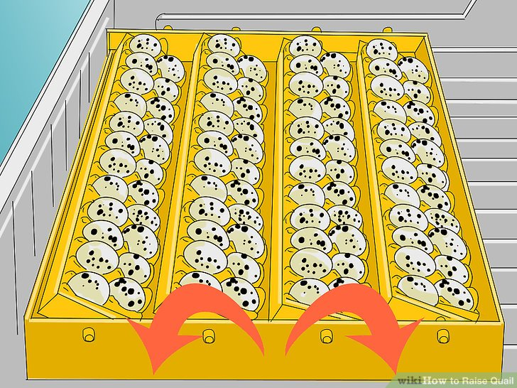 Schalten Sie den Eierwender erst drei Tage nach dem Eierlegen ein.