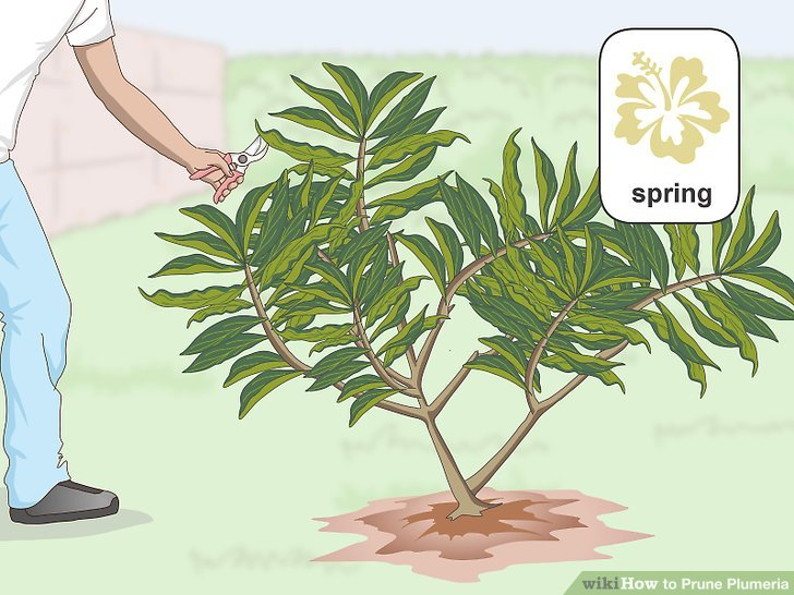 Prune your plumeria in the early spring.